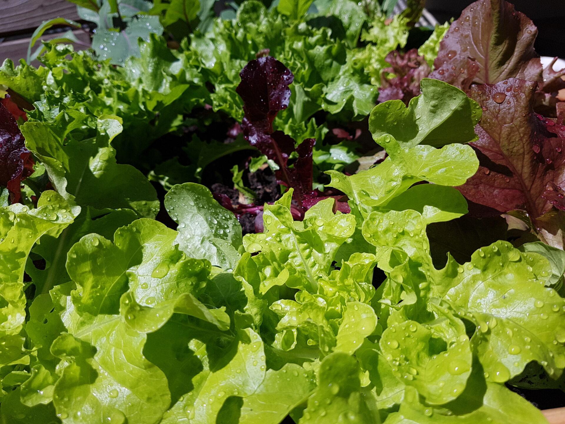 Salat in einem Hochbeet